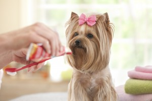 Yorkshire Terrier Day at the Groomer-Spa